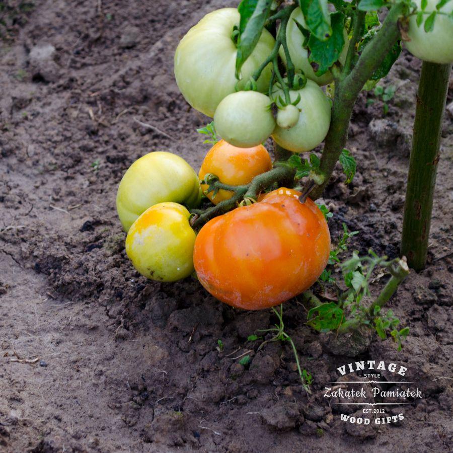 Pierwsze pomidory z naszego ogrodu