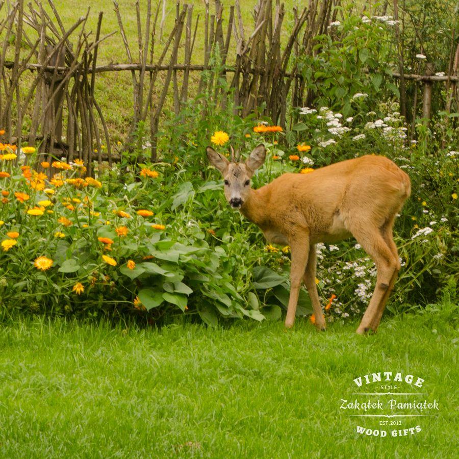 Sarna w ogrodzie
