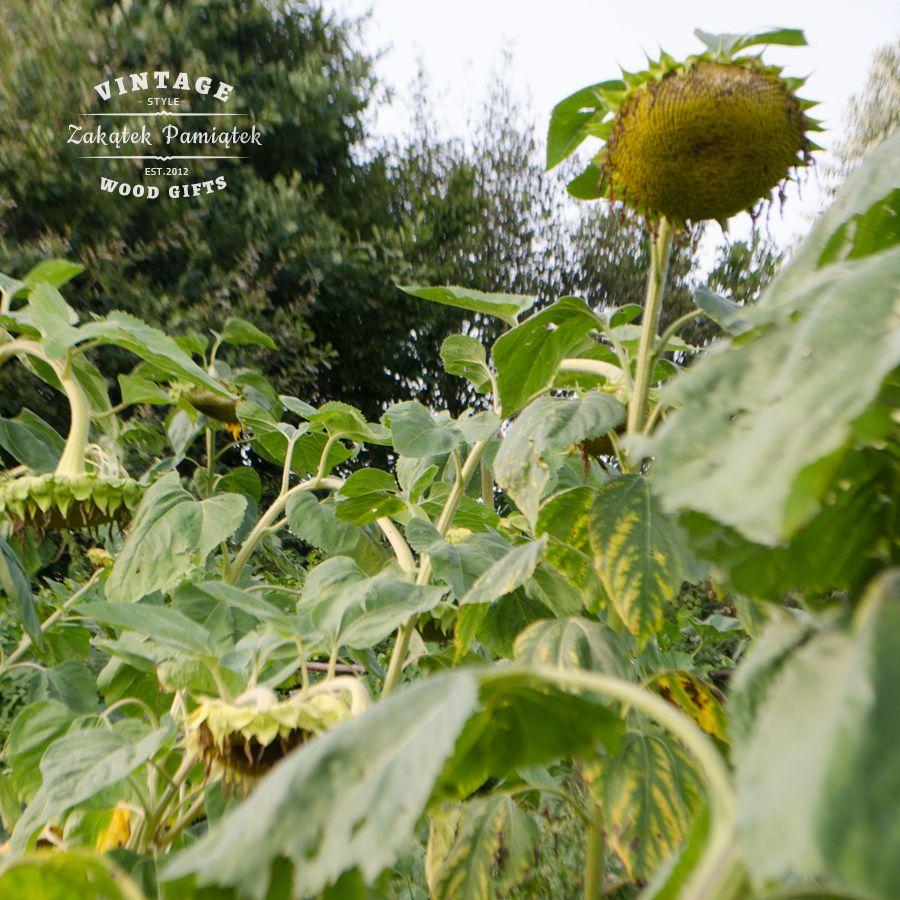 Jesień coraz bliżej, słoneczniki
