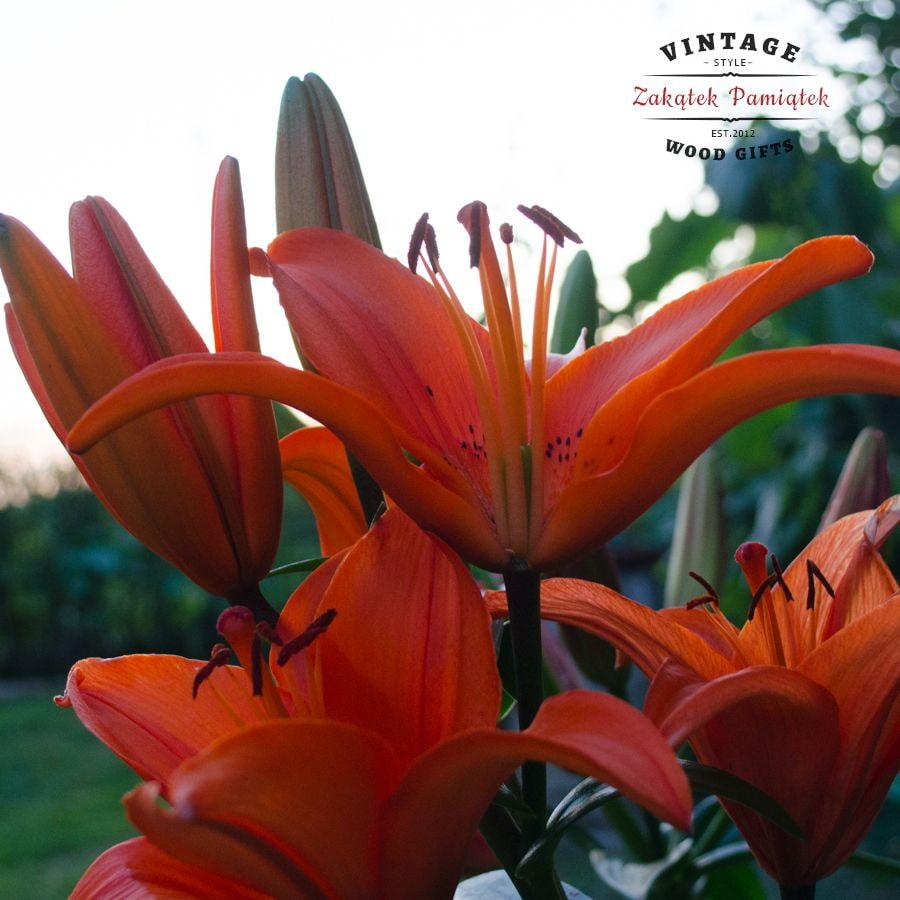 lilie, ogród, domaradz, kochamdomaradz