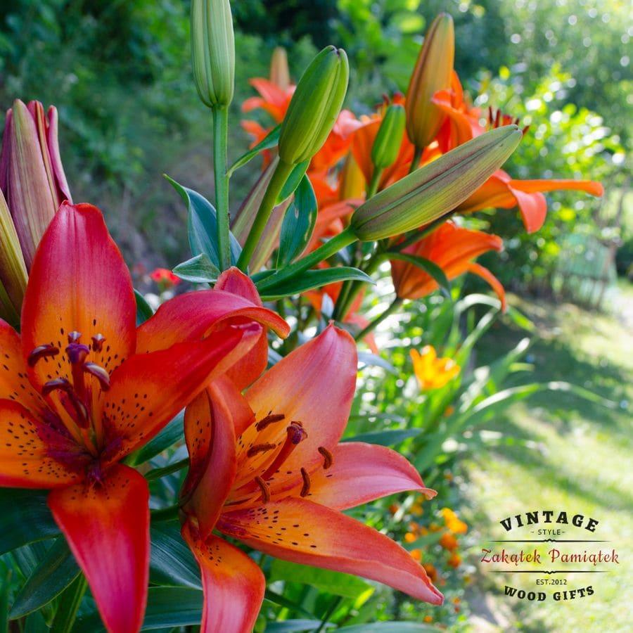 Lilie, domaradz, podkarpacie, kochamdomaradz, ogród