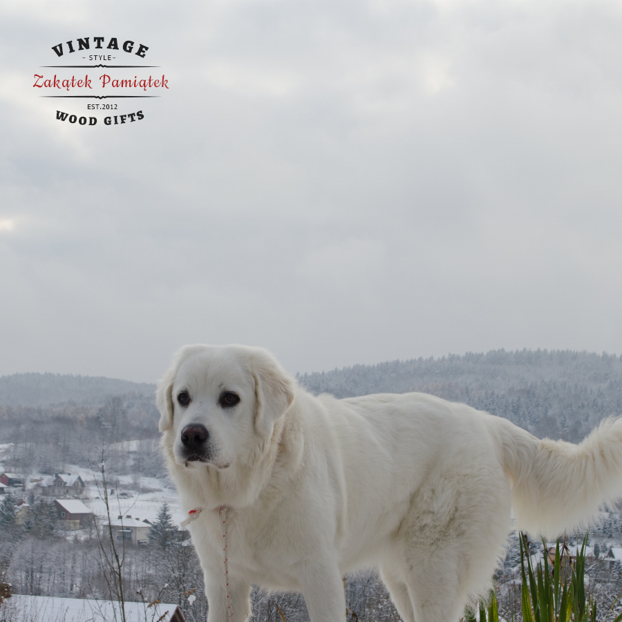 Owczarek Podhalański pierwszy śnieg